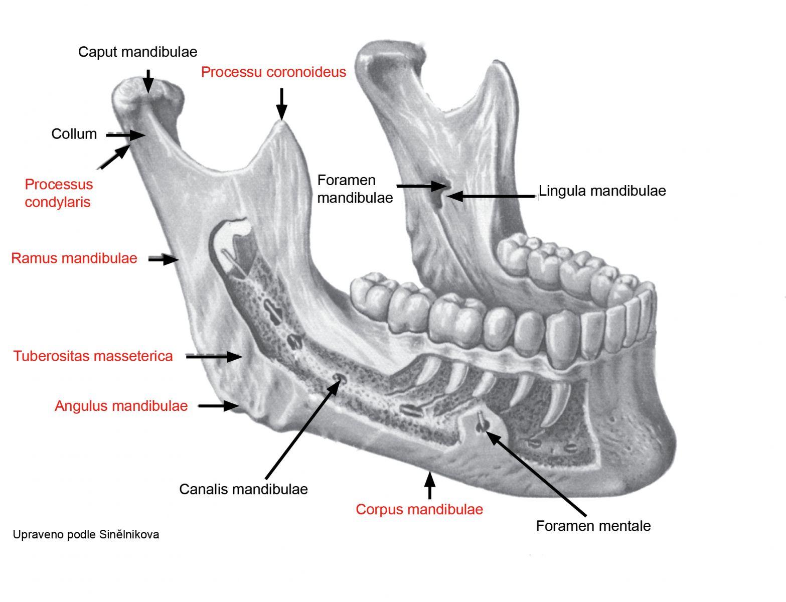 Зубы человека нижняя челюсть схема Строение зуба