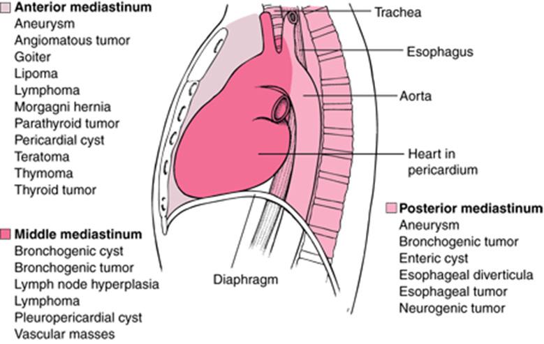 Anterior mediastinum anatomy